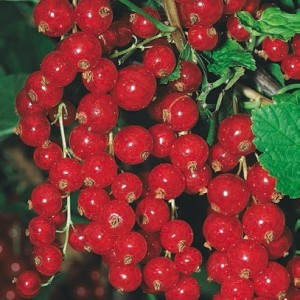 ribes-rosso
